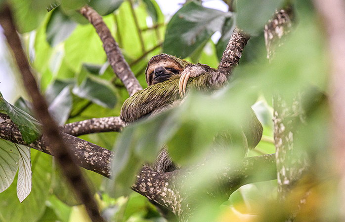 Det tretåede dovendyr er et af Costa Ricas mest elskede dyr