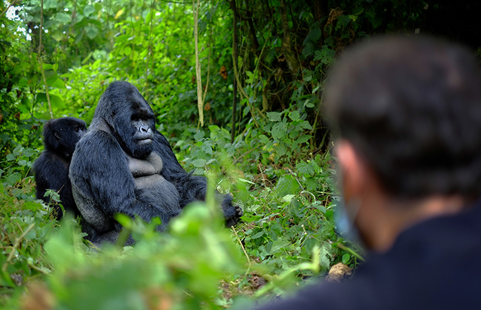 Bjerggorillaen er højt værdsat i Rwanda